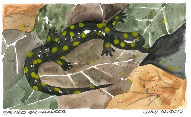 2015-07-12 Spotted Salamander