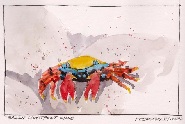 2016-02-24 Sally Lightfoot Crab