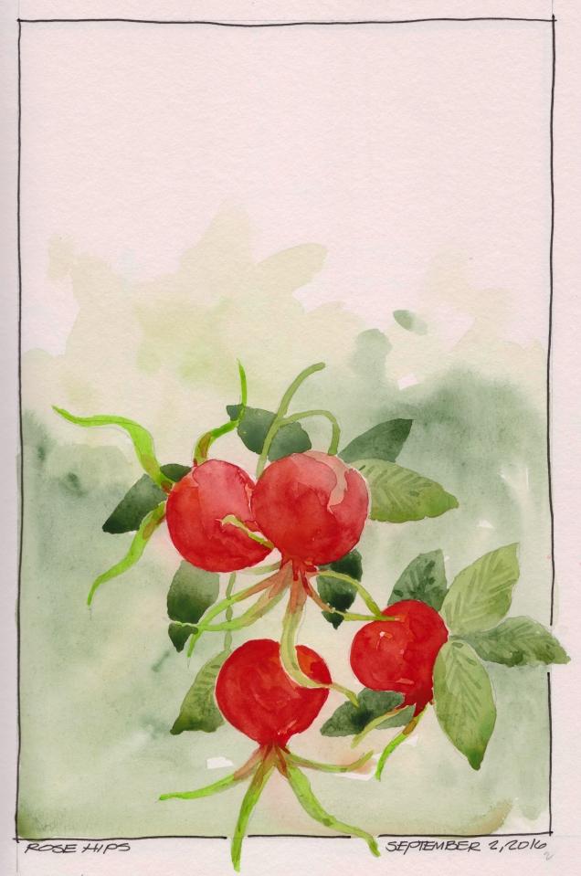 2016-09-02 Rose Hips